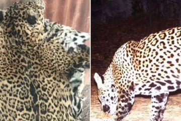 Someone Killed And Skinned One Of The Only Two Known Jaguars To Be Roaming The US