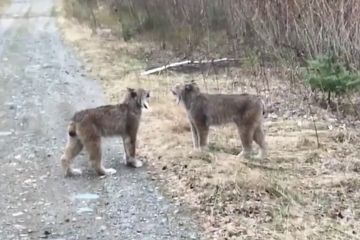 Here's What's Going On With These Lynxes That Scream Like Humans
