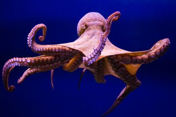 No, Octopi Are Not Space Aliens
