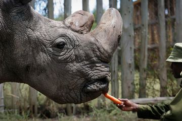 Hybrid Embryos of Near-Extinct Rhino Created in Lab