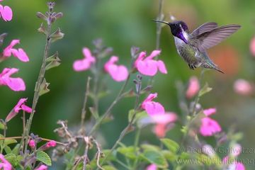 Photo: Violet-tinged hummingbird dazzles in the blooms