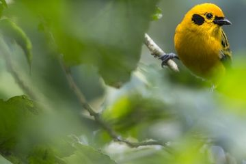 Photo: Golden tanager is a glowing jewel in the leaves