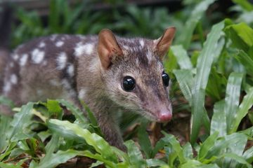 Australia's Endangered Quolls Get Genetic Boost From Scientists