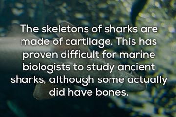 Shark Facts – Hoo ha ha! (17 Shark facts)