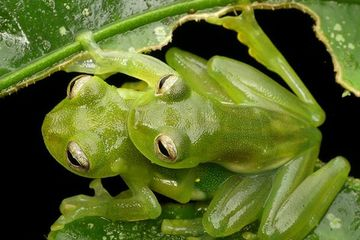 Photo: King glass frogs ... uhm ... 'cuddle' in the rainforest