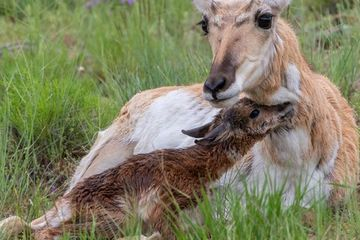 Photo: Pretty pronghorn mom bonds with newborn fawn