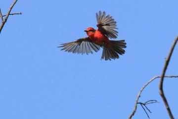 Photo: Vermillion flycatcher spreads its wings