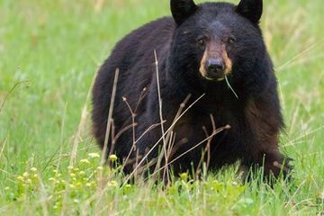 Photo: Beautiful big black bear ambles in the meadow