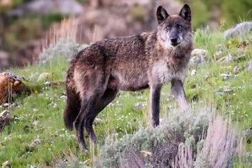 Photo: Yellowstone wolf is a serious beauty