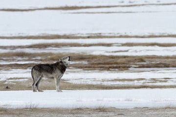 After killing all the wolves in Yellowstone, they finally brought them back – here's what happened next