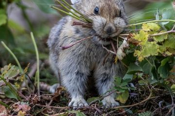 Photo: Sweet little pika gathers the greens