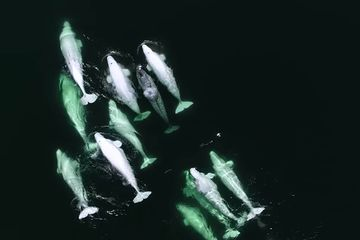 Wayward narwhal adopted by a pod of belugas (video)