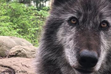 Wolf howls, Mother Nature claps (video)