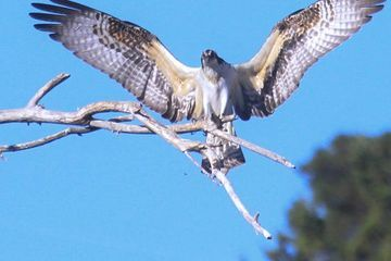 Photo: Osprey displays its remarkable wings