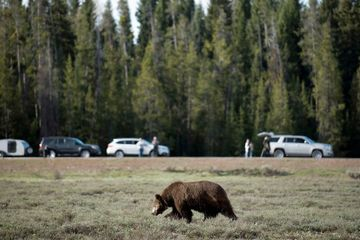 Hunt of Yellowstone Grizzly Bears Canceled by Judge