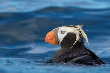 Photo: Tufted puffin on a mission