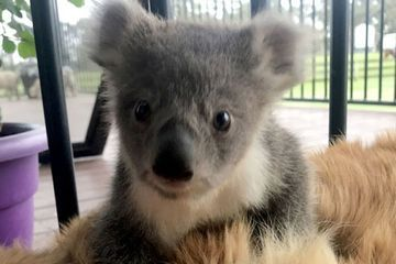 Baby koala saved by unexpected friend (6 Photos)