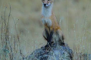 Photo: Red fox perches on a rock