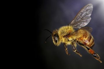 What Getting Stung By a Bee Does to Your Body