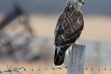 Photo: Rough-legged hawk is the picture of poise