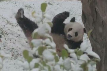 Giant panda Bei Bei playing in the snow is everything (video)