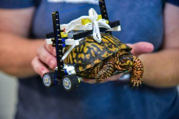 Injured turtle gets custom-built LEGO wheelchair (Video)
