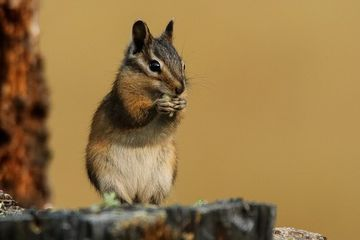 Photo: Townsend's chipmunk feasts on a seed