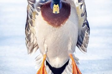 Photo: Magnificent mallard comes in for a landing
