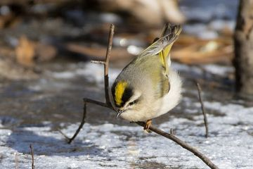 Photo: Golden-crowned kinglet displays his golden crown