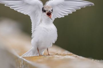 Photo: Least tern adopts angel pose