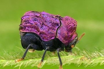 Photo: World's cutest beetle makes an encore