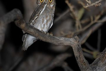 11 facts about elf owls, the smallest owls in the world