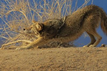 Photo: Coyote practices downward dog
