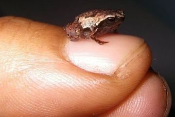 Newly discovered mini frogs are so very very tiny