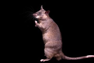 The amazing, life-saving talents of the Gambian giant pouched rat