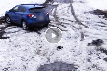 Big pupper saves small pupper from being ran over (Video)