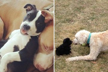 Dogs with mixed feelings about the new puppy (28 Photos)