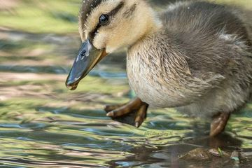 Photo: Cutest duckling tests the water