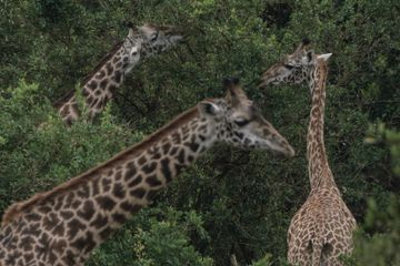 U.S. to Consider Listing Giraffes as Endangered Species