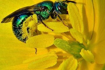 Photo: Metallic green bee doing the good work