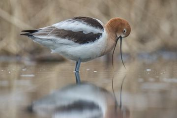Photo: American avocet considers the lake