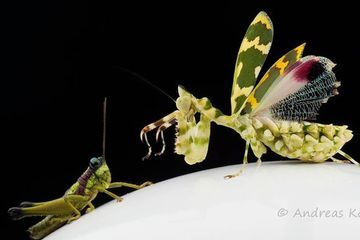Photo: The exquisite praying mantis that will fuel your nightmares (video)