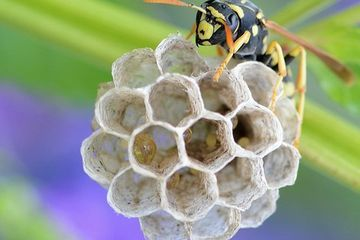 Paper wasps recognize each other, have long memories, & display logical reasoning