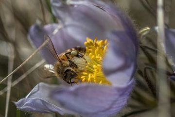 Photo: Crocus and bee, a love story