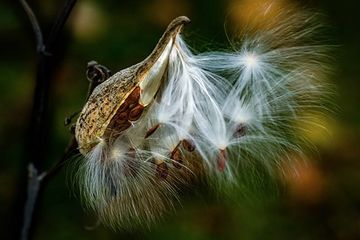 Photo: Consider the milkweed seed
