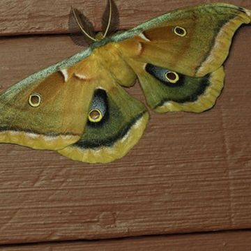 Photo: Giant silk moth is inspired by a cyclops