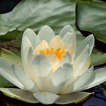 Photo: Water lily looks lit from within