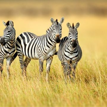 The mystery of zebra stripes just got solved