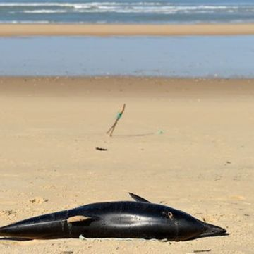 Over 1,000 mutilated dolphins have washed up on French coast