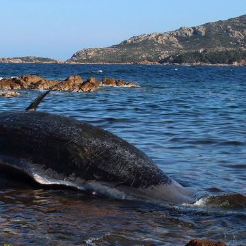 Whale Is Found Dead in Italy With 48 Pounds of Plastic in Its Stomach